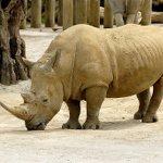 African Rhinoceros PD