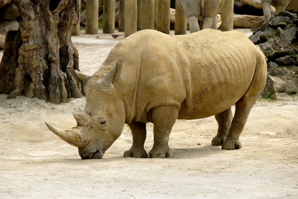 African Rhinoceros free PD photo