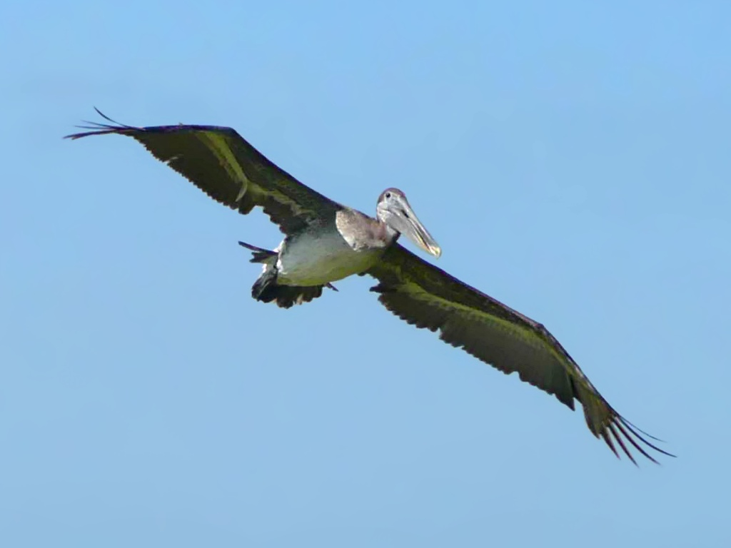 Pelican Fly in Sky free PD photo