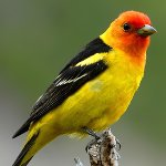 Western Tanager PD
