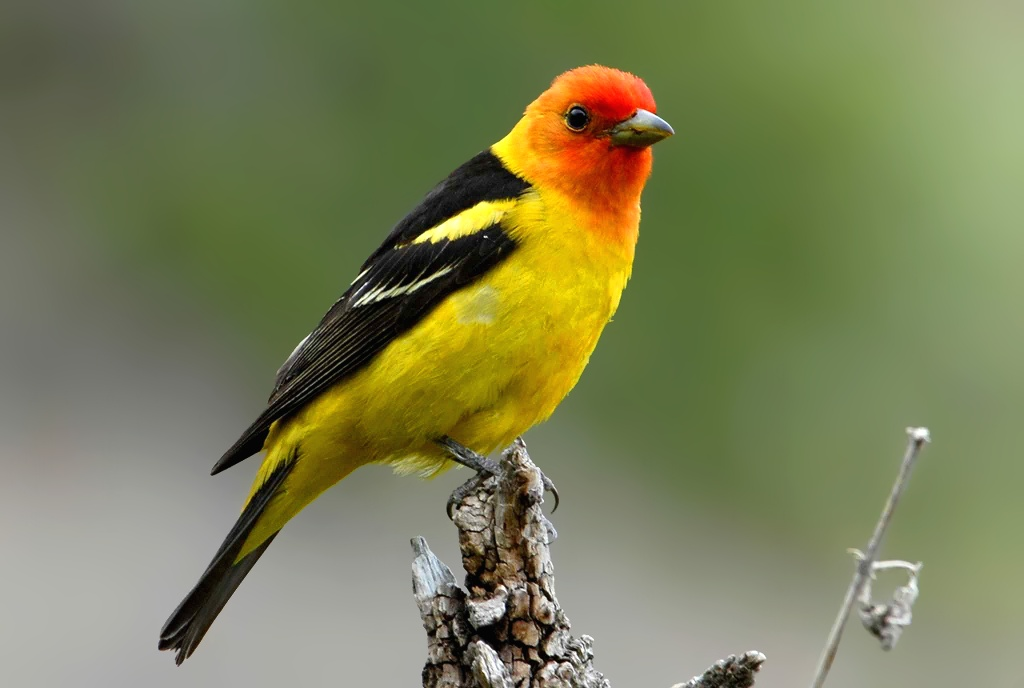Western Tanager free PD photo